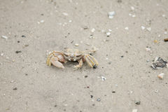 Crab on the beach Stock Images