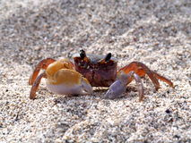 Crab on the beach. A close up of a middle sized crab Stock Image