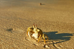 Crab on a beach Stock Photography