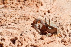 Crab on the beach. Ghost crab on the beach. Crab emerges from the sand on the beach stock photography
