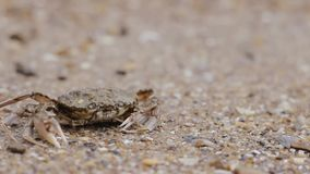 Crab on the beach goes into the water. Amphibian near the sea stock video