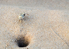 Crab on beach life in sand Stock Image