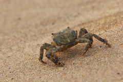 Crab on the beach. Royalty Free Stock Image