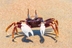 Crab on beach. royalty free stock photos