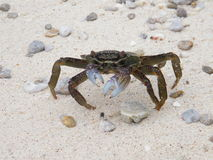 Crab on the beach runing Stock Image
