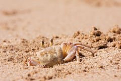 Crab on the beach sand. Crab burrowing a hole in the beach sand Royalty Free Stock Photos