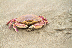 Crab. On the beach sand Royalty Free Stock Images
