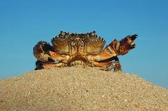 Crab on the beach in the sand Royalty Free Stock Photos