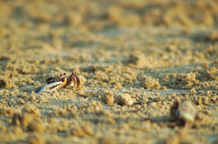 Crab on the beach sand Royalty Free Stock Photos