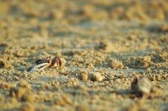 Crab on the beach sand Royalty Free Stock Photos