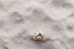 Crab on beach sand for summer and beach. Stock Photo