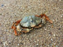 Crab on the beach. Crab on the sandy beach Royalty Free Stock Image