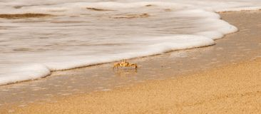 Crab on the beach. Sea foam on the beach with crabs- Turtle Beach - Dipkarpaz Royalty Free Stock Photo