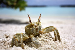 Crab on the beach at the sunny day Stock Photography