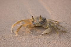 Crab on the Beach at Sunset Stock Images