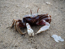 Crab on the beach Royalty Free Stock Images