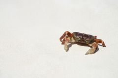 Crab on beach, Thailand royalty free stock photography