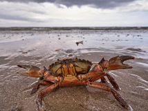 Crab at the beach. Threatening crab at the beach Stock Photography
