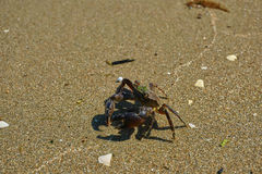 Crab on the beach in Turkey. Royalty Free Stock Photo