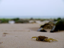 Crab on the beach. A crab walking along the beach Royalty Free Stock Images