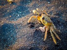 Yellow Crab on the beach Stock Image