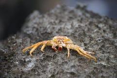 Crab, Bermuda. Crab on a gray stone Royalty Free Stock Photos