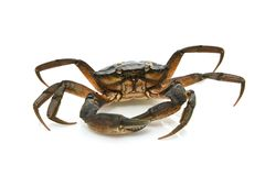 Crab. Black sea crustacean. Isolated on white background stock photography