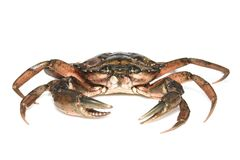 Crab. Black sea crustacean isolated on white background.  stock image