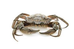 Crab. Black sea crustacean isolated on white background.  stock images