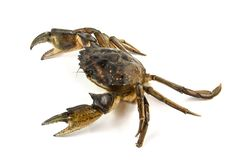 Crab. Black sea crustacean, isolated on white. Background stock photos