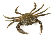 Crab. Black sea crustacean, isolated on white. Background royalty free stock photography