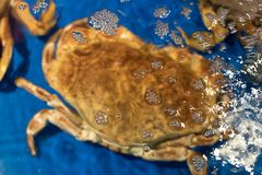 Crab. In the blue basin Royalty Free Stock Photos