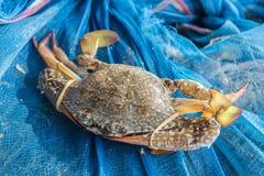 Crab or blue crab, blue manna crab, sand crab. Stock Photography