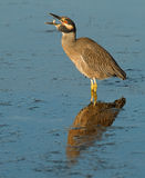Crab breakfast. Yellow-crowned night heron throwing up a crab to swallow Royalty Free Stock Image