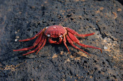 Crab Broil. Broiled seafood done nature's way. This crab got caught on lava rock when tide waters left it high and dry. Sun baked it alive royalty free stock image