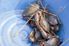 Crab in bucket Royalty Free Stock Image