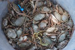 Crab in the bucket. Note  select focus with shallow depth of field Royalty Free Stock Photography
