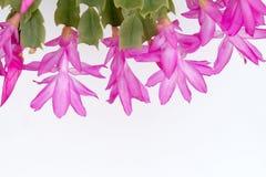 Crab Cactus Stock Images