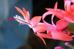 Crab cactus flower Stock Photo