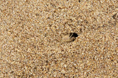 A crab camouflaged with the same color of sand. Camouflaged crab a visible organism remain unnoticed, by blending with its environment Stock Photography