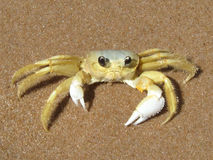 Crab on the Caribbean beach Royalty Free Stock Photo