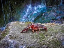Crab with cataract background.foreground of a red crayfish with a background of water cascade blurred. Foreground of a red crayfish with a background of water royalty free stock images
