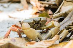 Crab Chicken on the beach Tachai Island Royalty Free Stock Photos