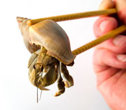 Crab and chopsticks. An image of a crab and chopsticks stock photo