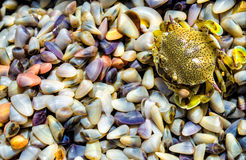 Crab and clams Royalty Free Stock Image