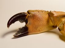 Crab claw. A crab's claw from Croatia Stock Photo