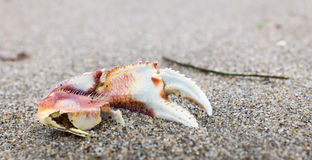 Crab claw on the beach. A Dungeness Crab (Metacarcinus magister) claw on grey beach sand at Crissey Field in the Presidio of San Francisco stock images