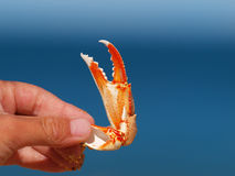 A crab claw with blue background. The claw of a crab in the hand of a young child with blue background Royalty Free Stock Photo