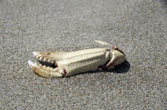 Crab claw on fine sand beach Royalty Free Stock Images