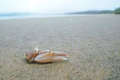 Crab claw Royalty Free Stock Image